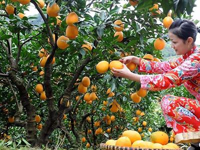 信丰扩建两万亩脐橙生产基地