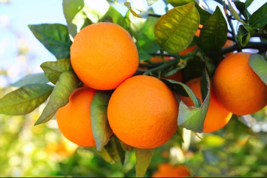 2018年信丰脐橙11月1日开始正式采摘