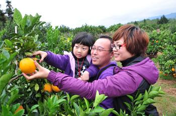 信丰脐橙树网上领养采摘活动图片展