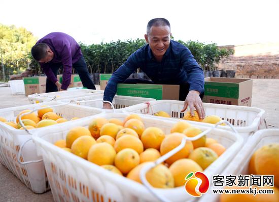 如何识别正宗信丰脐橙及原生态脐橙果品