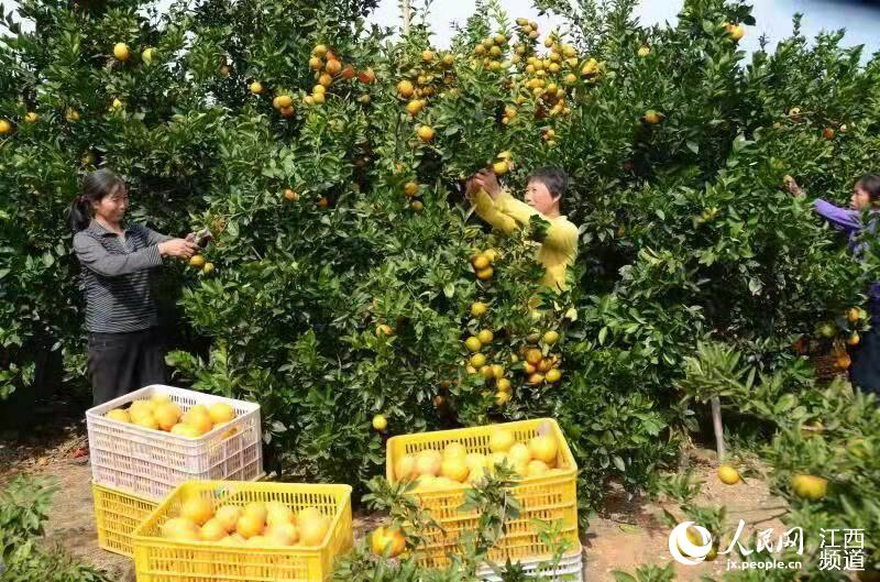 赣南脐橙开采销售