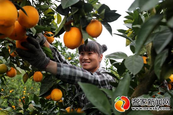 识别正宗信丰脐橙与原生态脐橙果品