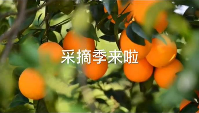 """采摘季来啦 """"赣南脐橙第一人""""袁守根教你如何挑橙子"""