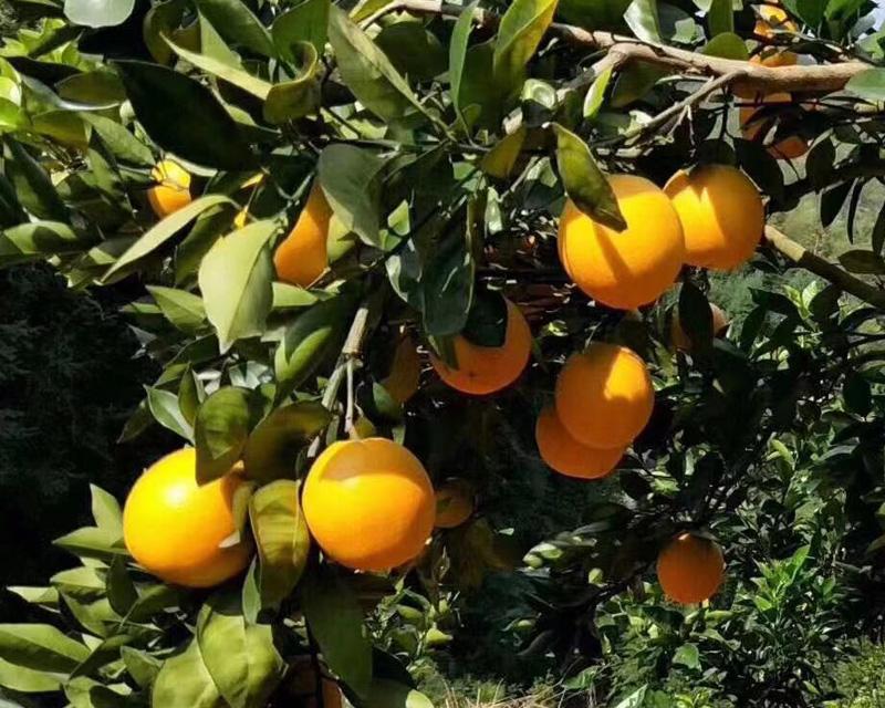 信丰脐橙熟了香香甜甜不上火