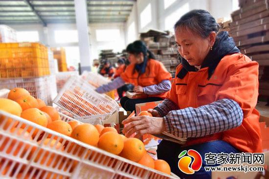 2019赣南脐橙网络博览会将于11月29日在信丰开幕