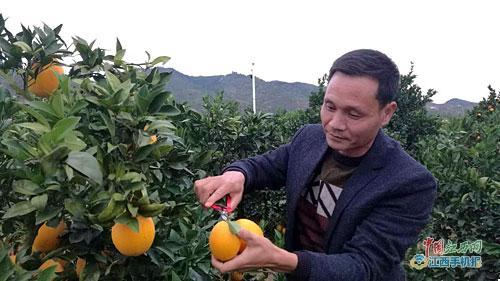脐橙促增收 果农过上好日子 老区展新颜