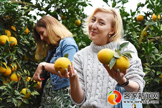 赣南脐橙采摘季 旅游引客忙不停