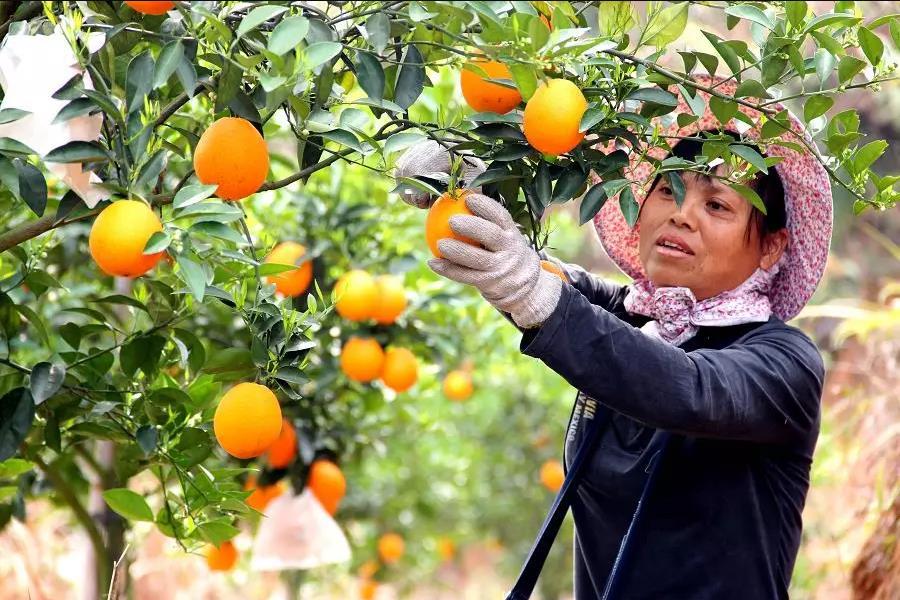 赣南脐橙网销火了 果农脱贫增收乐了