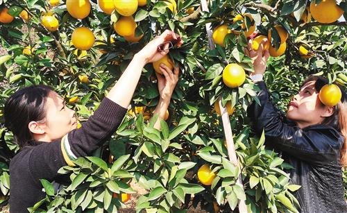 经济日报:赣南脐橙开摘上市