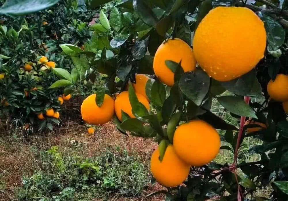 赣南脐橙即将开摘,果价怎么定?果农和果商之间的博弈,必须知道这5点
