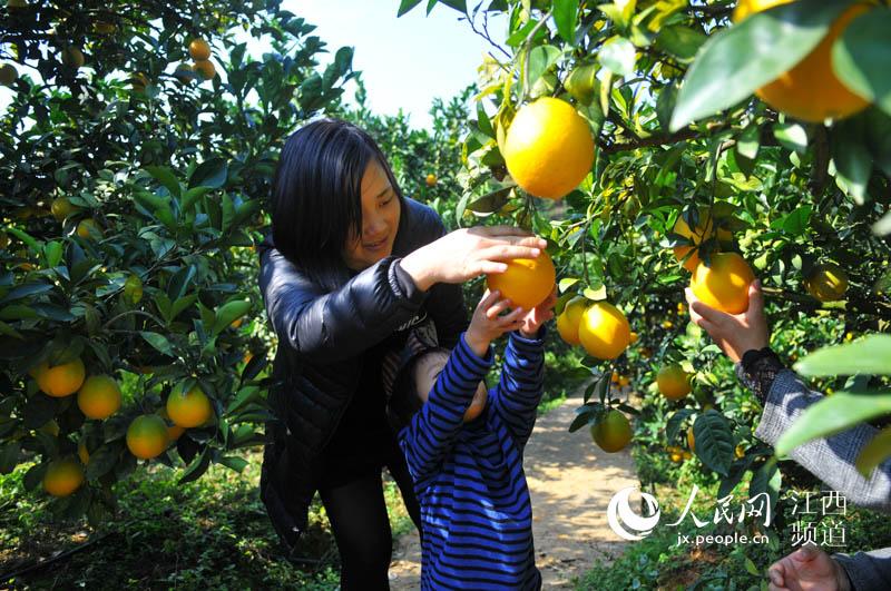 人民网:江西赣南脐橙开摘销售