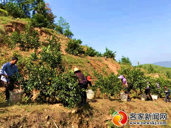 赣南脐橙喜获丰收 正式采摘上市