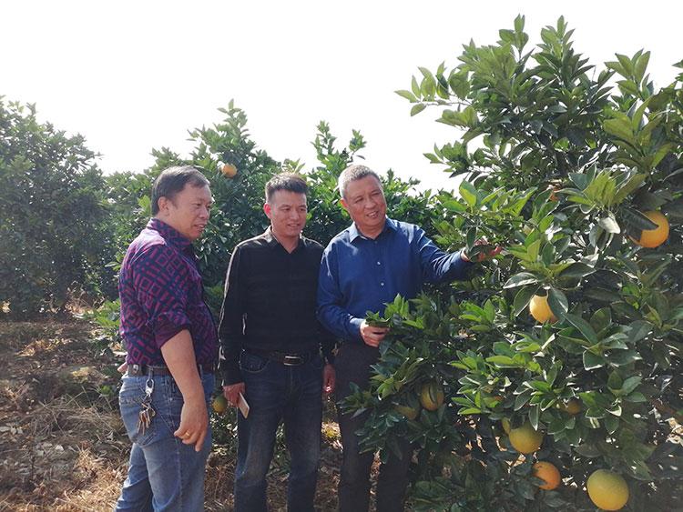 市果业局在安西镇调研脐橙产业高质量发展和指导当前脐橙黄龙病防控工作