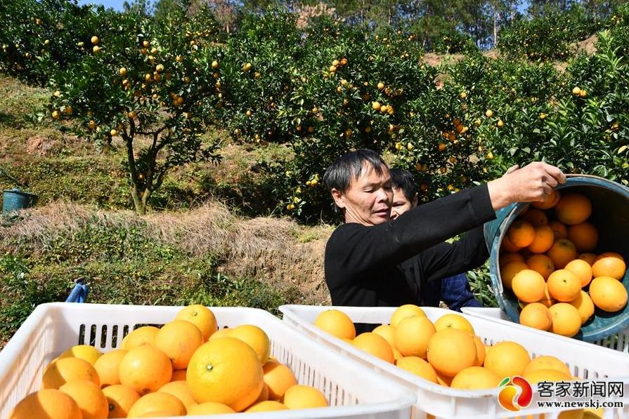 赣南橙园惹人醉 脐橙香里说丰年