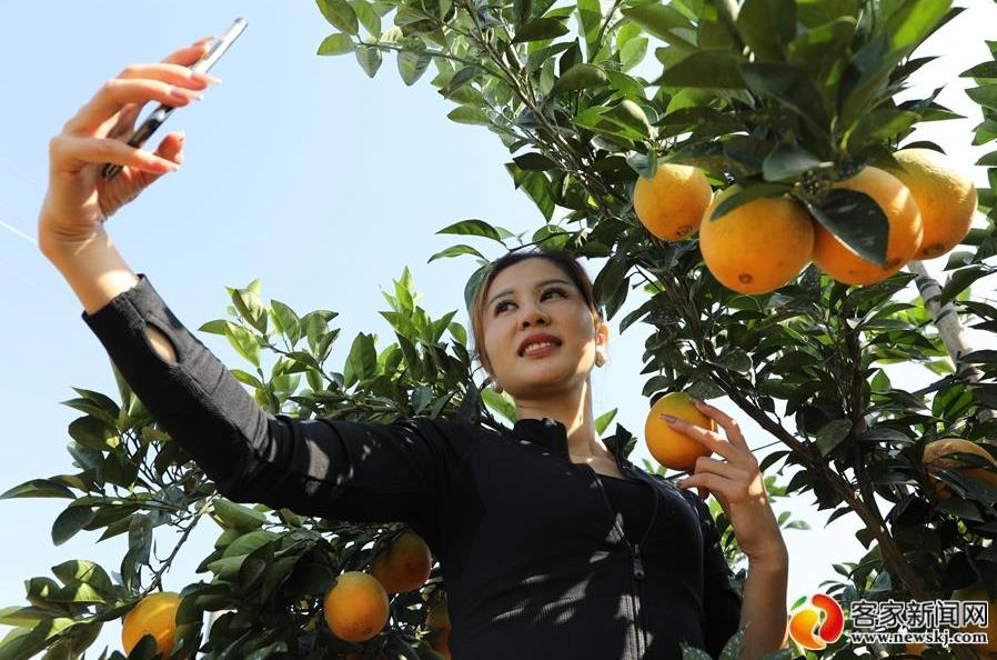 赣南脐橙开采日 橙乡人民笑眯眯