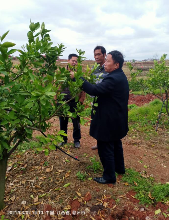 大塘埠镇指导脐橙春季管理技术